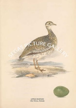 LITTLE BUSTARD - Otis Tetrax, Female